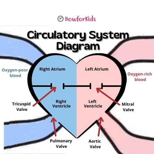 Heart function in Circulatory System: Heart's valves