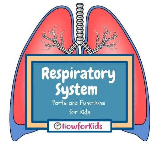The Respiratory System Parts and Functions for Kids