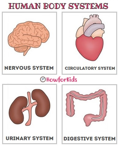 The Main Systems of the Human Body for Primary school