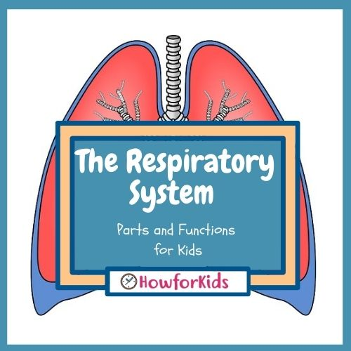 Respiratory System Parts and Functions for Kids