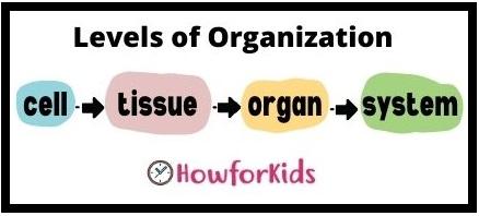 Human Body: Levels of Organization