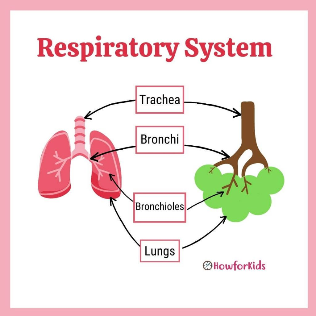 Respiratory System Diagram for Kids