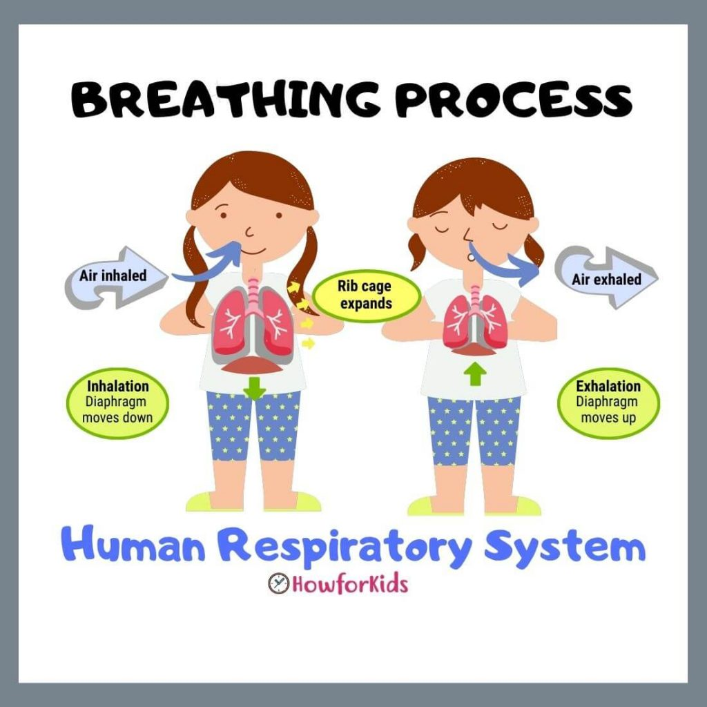 How Breathing Works. Learn about Respiration Process.