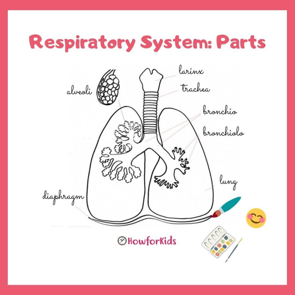 Diaphragm Respiratory System Parts for primary school