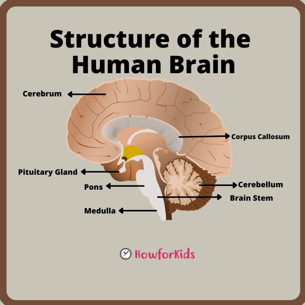 Structure of the Human Brain parts and functions