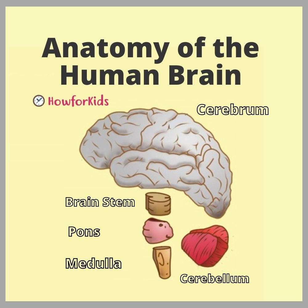 The Brain: parts and functions for Kids