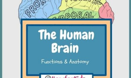 The Human Brain Functions and Anatomy