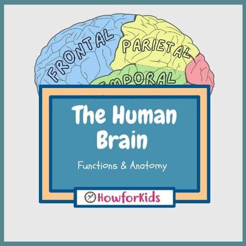 Human Brain: Functions & Anatomy for kids