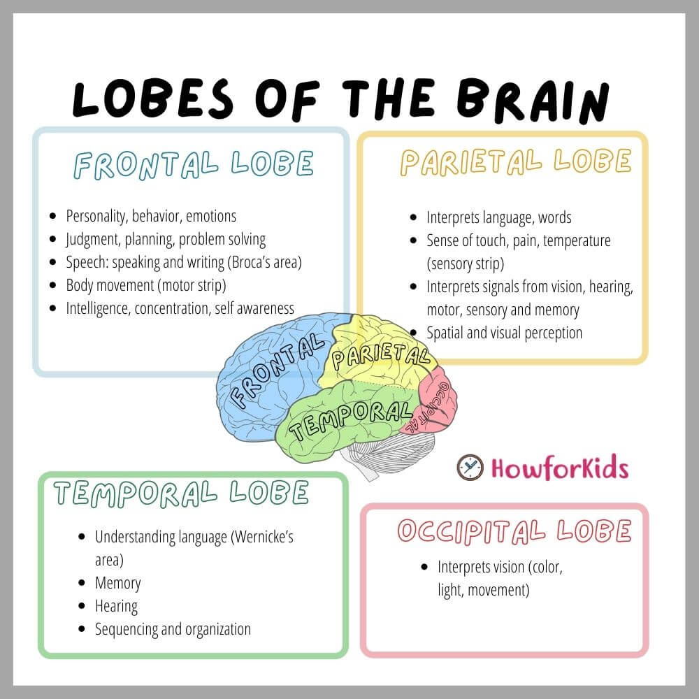 Lobes of the Human Brain. Parts and Functions: Chart