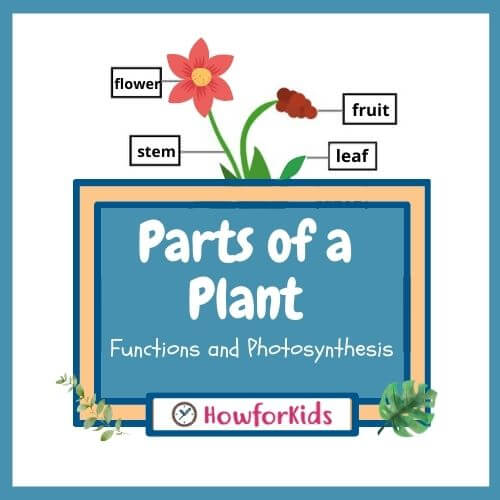 Parts of a Plant for Kids: Functions & Photosynthesis